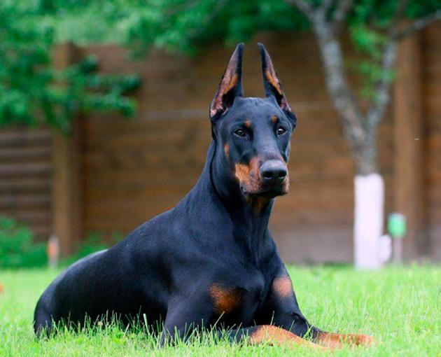 Собака-компаньон — Доберман
