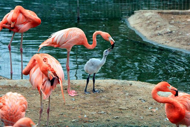 Способность продолжать свой род у фламинго наступает поздно — в 5-6 лет, но компенсируется тем, что яйца самка откладывает дважды за год