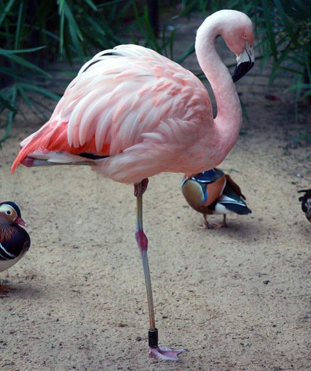 Фламинго поднимает поочередно то одну ногу, то другую по одной простой причине — таким способом птица их греет
