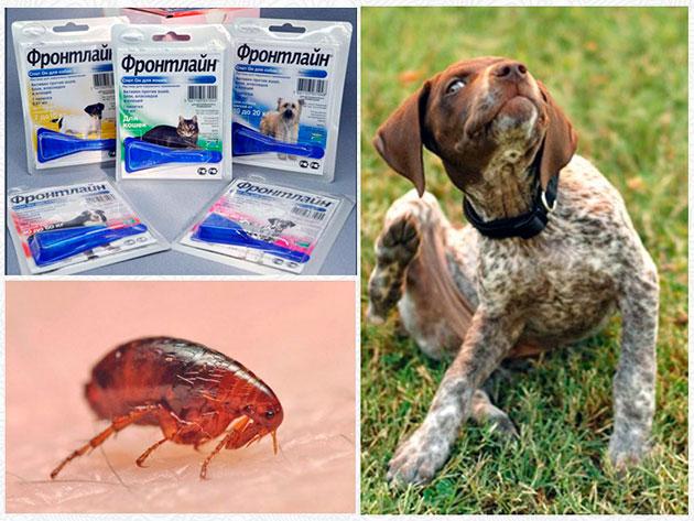 Фронлайн предназначен для борьбы с кожными паразитами у собак