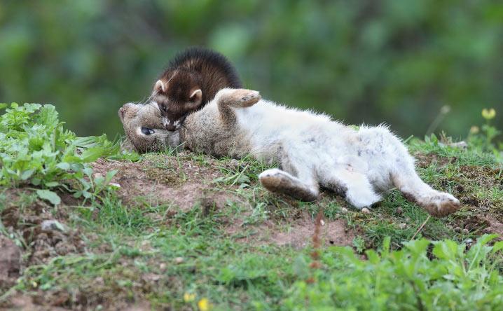 Хорек – хищное животные, основную часть его рациона составляет мясо