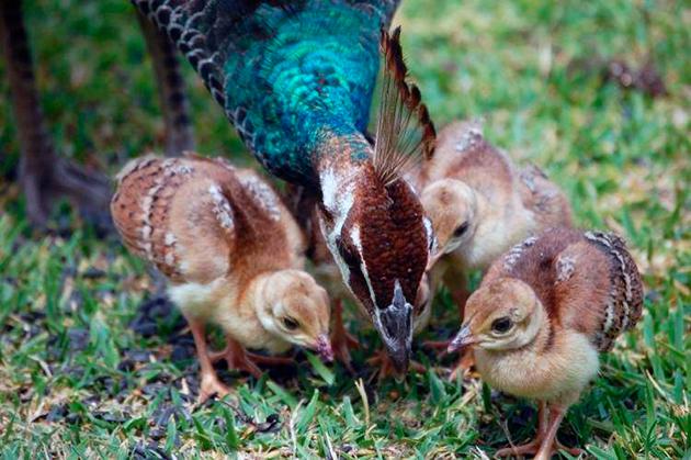 Яйца высиживает исключительно самка павлина