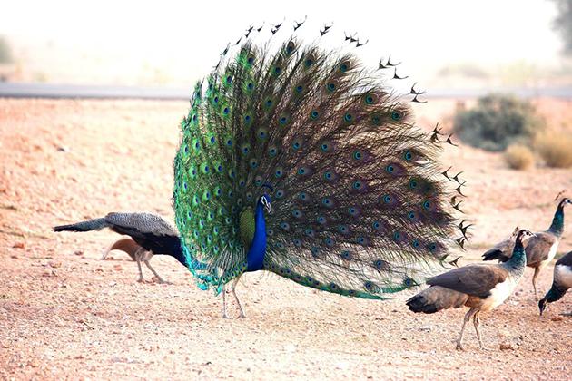Яркий и невероятных размеров хвост есть только у самцов павлина