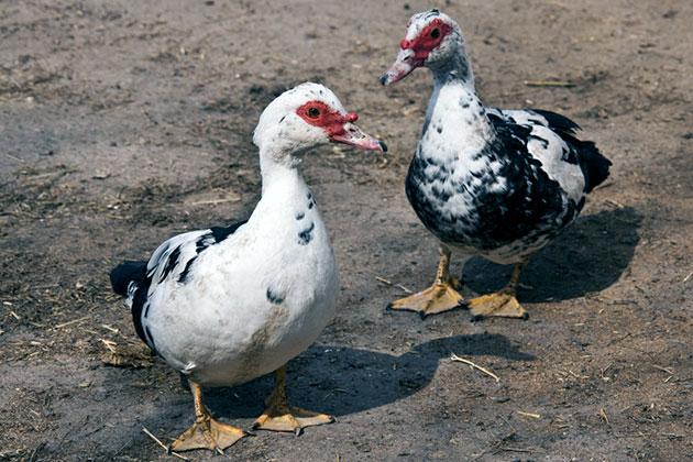 Мускусные утки не требуют никаких особенных условия содержания