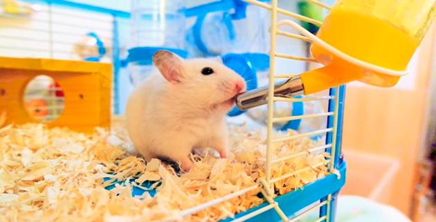 В большинстве случаев хомячки справляются с задачей поиска воды у себя в клетке