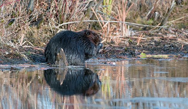 У канадского бобра много врагов и поэтому это очень осторожное и внимательное животное