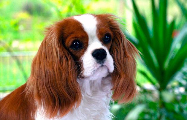 Когда в XX веке эти собачки получили популярность, они стали завсегдатыми выставок