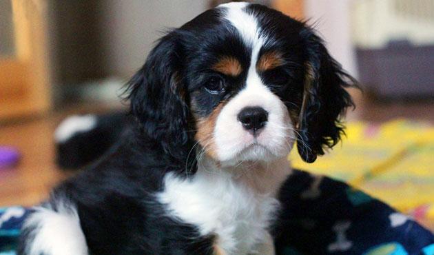 Болеет кавалер кинг чарльз спаниель, как и другие собаки поэтому не забывайте периодически показывать питомца ветеринару
