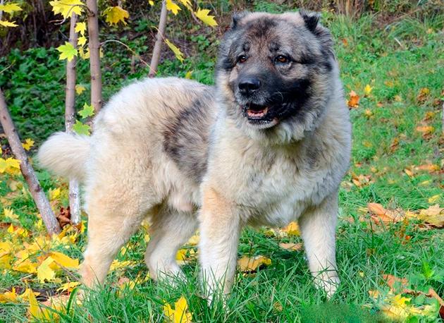 Собака-компаньон — Кавказская овчарка