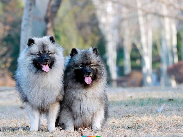 Кеесхонды позитивные и любвеобильные собаки, они подарят море позитива своим владельцам
