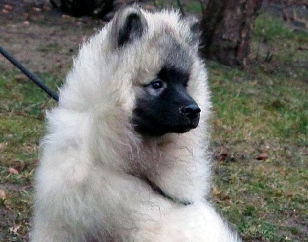 Если вы приобрели кеесхонда в питомнике, риск что собака окажется больная — минимален