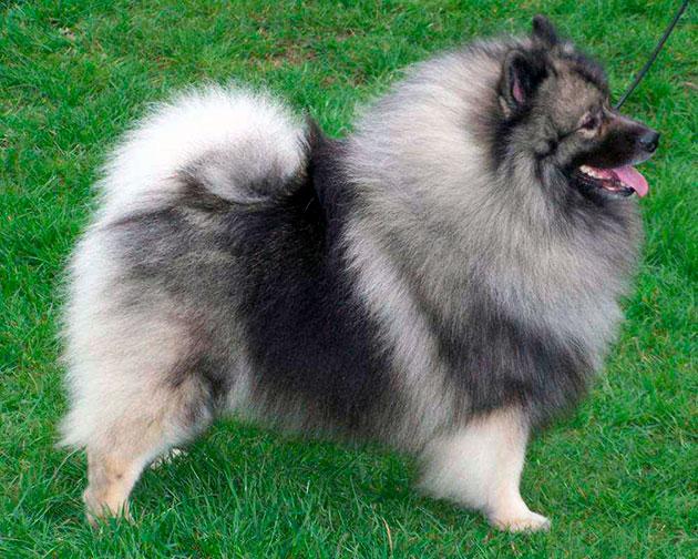 По стандартам породы кеесхонд — собака с небольшой головой и компактным корпусом, цвет шерсти допускается в серо-черной гамме