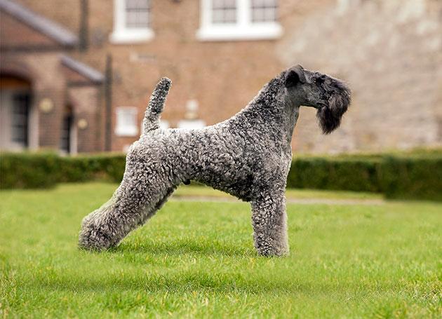 У стандартов керри-блю-терьера существует много факторов оценки, но если взять вообщем — это крепкие и коренастым собаки с атлетически сложенным корпусом