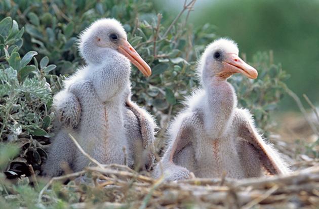 Обязанности по воспитанию птенцов китоглавы делят поровну