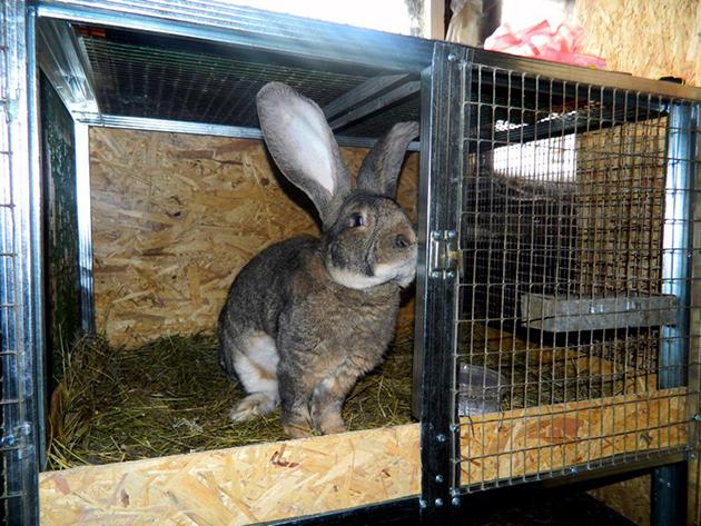 Учтите при создание клетки, что мясошкурковые кролики очень быстро растут и достигают немаленьких размеров