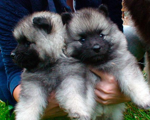 При покупке немецкого шпица внимательно понаблюдайте за активностью щенка, а так же осмотрите его внешний вид