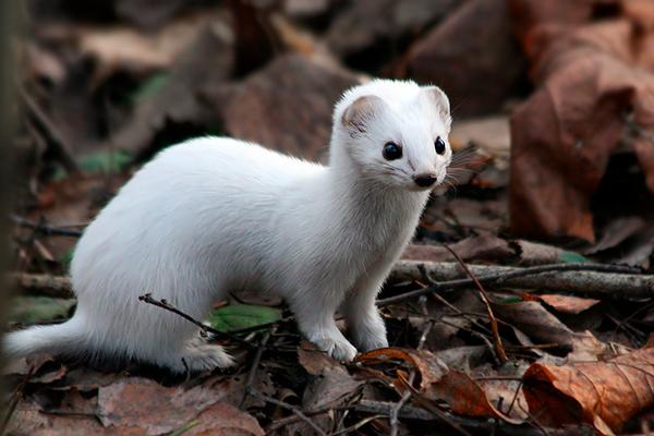 Белый окрас шерсти ласки