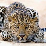 Леопард (лат. Pantherа pardus)