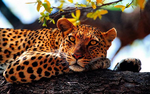 Леопарды ведут скрытый образ жизни и предпочитают держаться по одиночке
