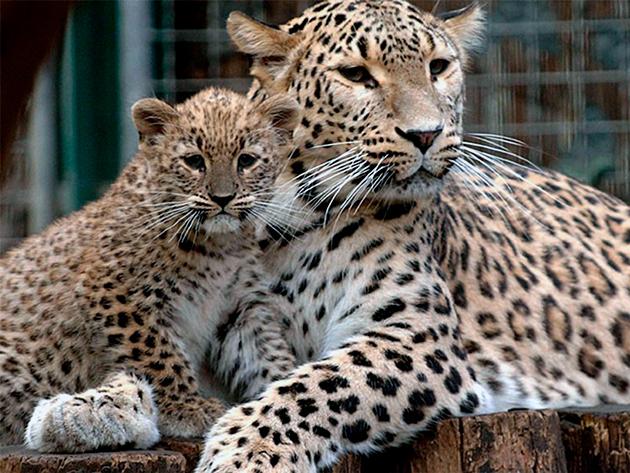 Самка, как правило, рожает не более 2 детенышей