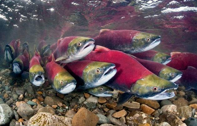 Мальки лосося внешним видом похожи на форель-пеструшку