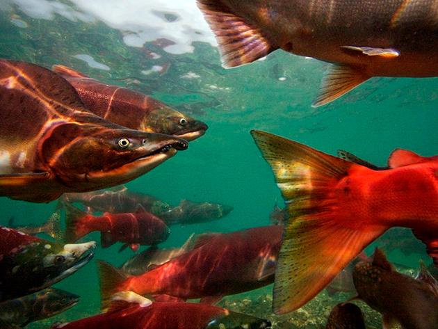 Пагубное воздействие на популяцию лосося оказывает браконьерство