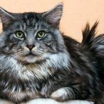 История кошек породы Мейн-кун