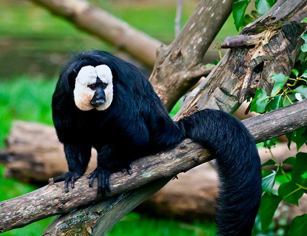 Паукообразная обезьяна имеет множество подвидов