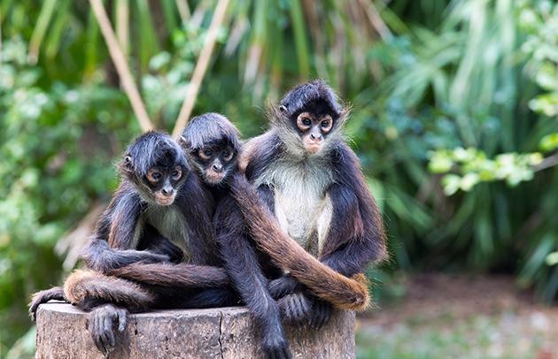 Из 9 подвидов паукообразных обезьян, численность 8 вызывает опасения у ученых