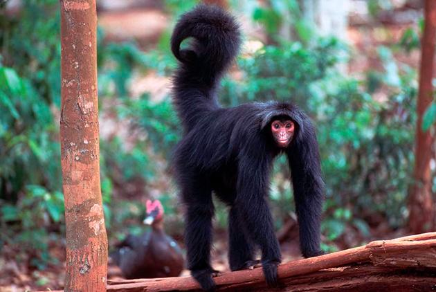 Паукообразная обезьяна (лат. Аtelidae)