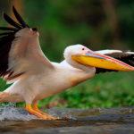 Пеликаны (лат. Реlесаnus)