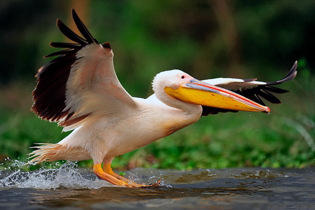 Места обитания пеликанов напрямую зависят от их вида