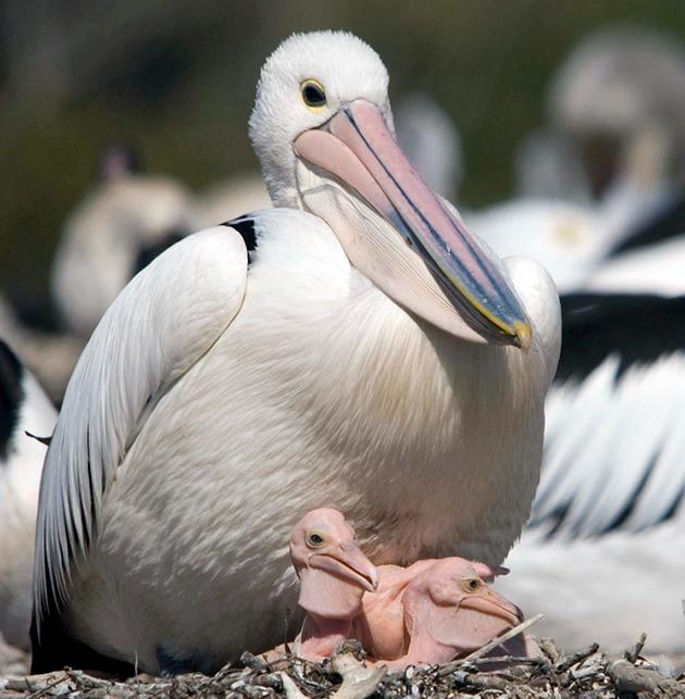 В целом популяции пеликанов ничего не угрожает, но есть некоторые подвиды, численность которых вызывает опасение