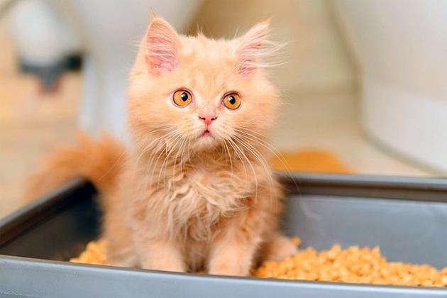 При обучение котенка ходить в лоток проявляйте терпение и сдержанность