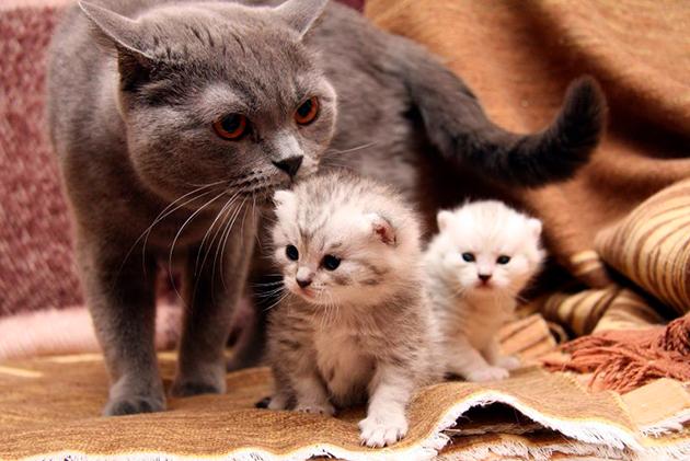 Кормящая кошка ест чаще, обычно 4-6 за сутки
