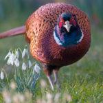Птица фазан