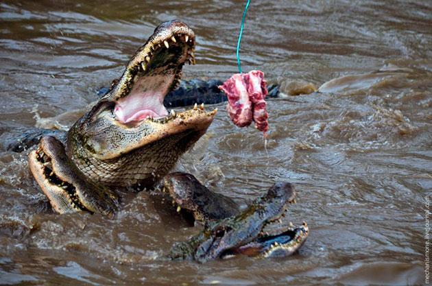 Аллигаторы могут употреблять в пищу практически все, что попадет им в пасть