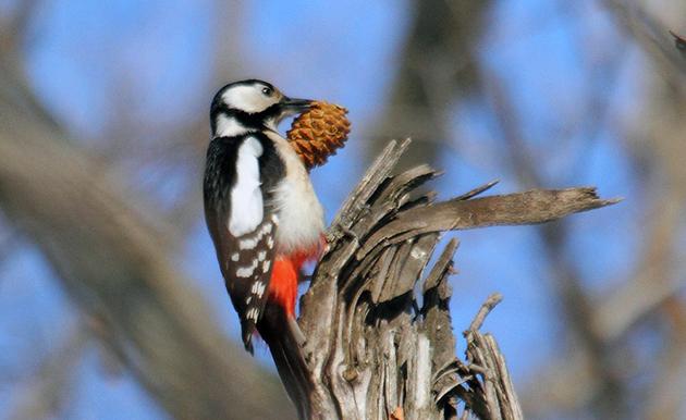 Рацион большого пестрого дятла зависит от сезона и может включать в себя растительную и животную пищу