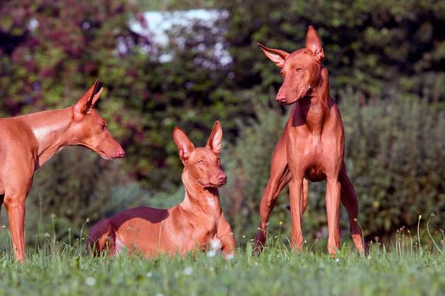 Рацион фараоновой собаки должен быть насыщен протеином