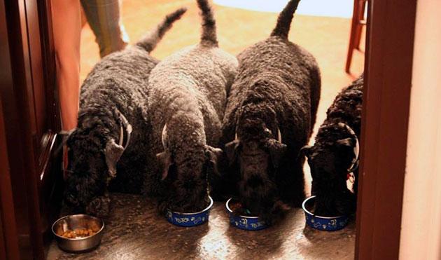 Кормить керри-блю можно как натуральной пищей, так и промышленными кормами