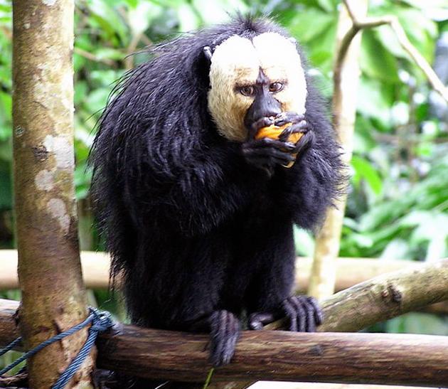 Основной рацион паукообразной обезьяны составляет растительная пища