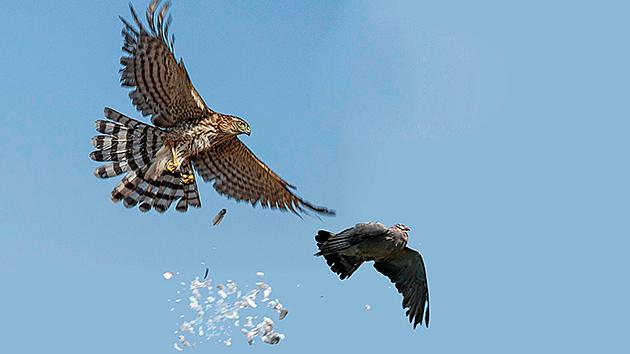 Основная добыча ястреба — более мелкая птица, но так же может охотиться на грызунов на земле