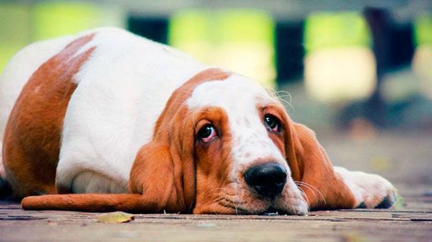 Побочные явления у собак при приеме римадила возникают, как правило при неправильном приеме
