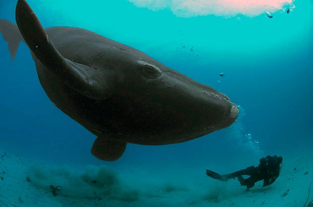 Рекордсменом по весу принято считать синего кита в середине 20-го века был пойман кит весом — 190 тонн