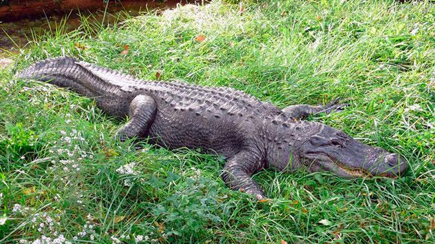 В дикой природе аллигаторы могут прожить чуть больше трех десятков лет, а в условиях неволе — эта цифра может перевалить за полвека