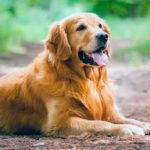 Собаки-компаньоны