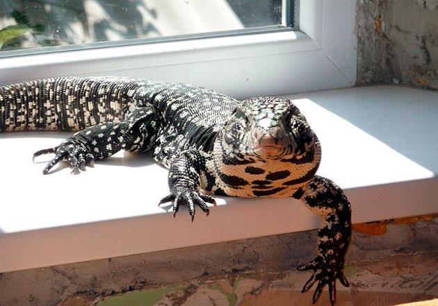 Черно-белое тегу относится к крупным видам ящериц и это нужно учесть при приобретении