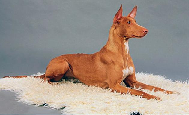Фараоновые собаки небольшие по размеру и не прихотливы в уходе