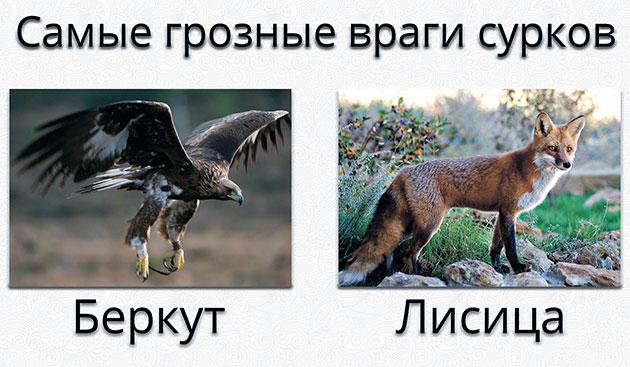 Самые страшные враги для сурков — беркуты и лисица
