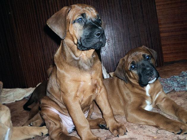 При покупке тоса-ину обратите внимание и на поведение щенка и на его внешний вид